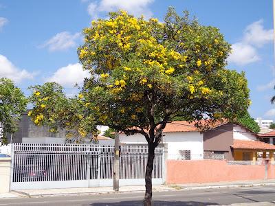 Jual Pohon Tabebuya Harga Murah 200 Ribuan