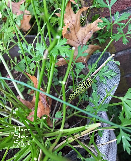 Parsley / Caterpillars