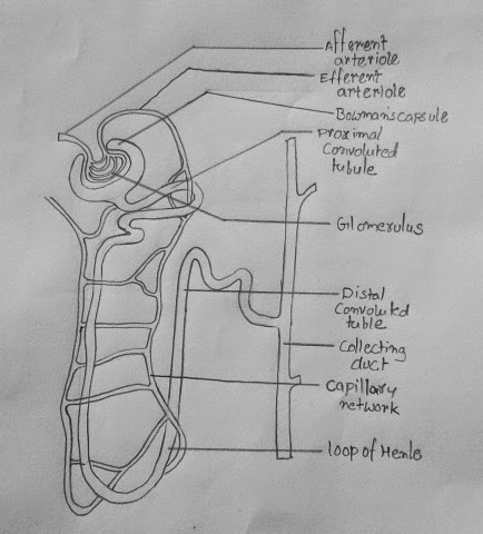 how to draw nephron