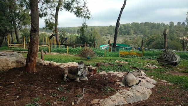 חיות משק במקלט הקופים הישראלי