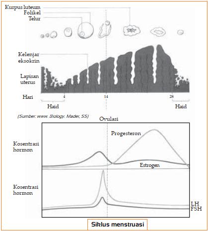 Gambar 4 Fase Siklus Menstruasi pada Wanita