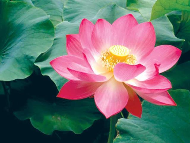Thơ về hoa sen, bài thơ tình yêu hoa sen ngắn cực hay