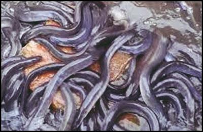 Supplier Ikan Sidat Bibit dan Konsumsi di Yogyakarta