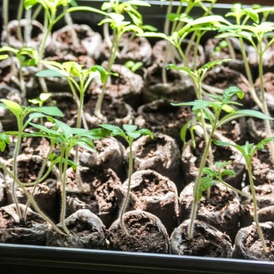 Leggy tomato seedlings | On The Creek Blog