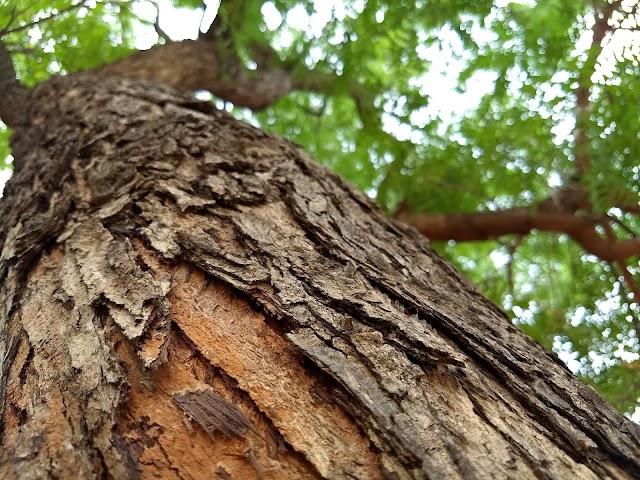 Neem Tree: Uses And Health Benefits
