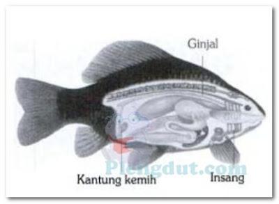 Insang dan ginjal yang merupakan alat untuk eksresi dari ikan