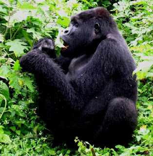 gorilla trekking uganda, affordable gorilla trek, lowest gorilla trek price at US$ dollars, gorilla tracking tour price, price range gorilla trek, gorilla safari costs, uganda gorilla tracking safari, budget gorilla safaris, uganda gorilla tours, uganda gorilla trek, gorilla permits uganda, gorilla tracking bwindi, luxury gorilla tour, luxury accommodation bwindi, uganda gorilla tracking car hire, uganda tour agent, Bwindi gorillas, primates uganda, private gorilla tour uganda,