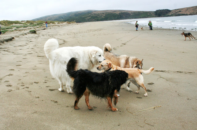 cabana encircled by three large dogs, sniffing her all over, she stands still with her ears back on her head