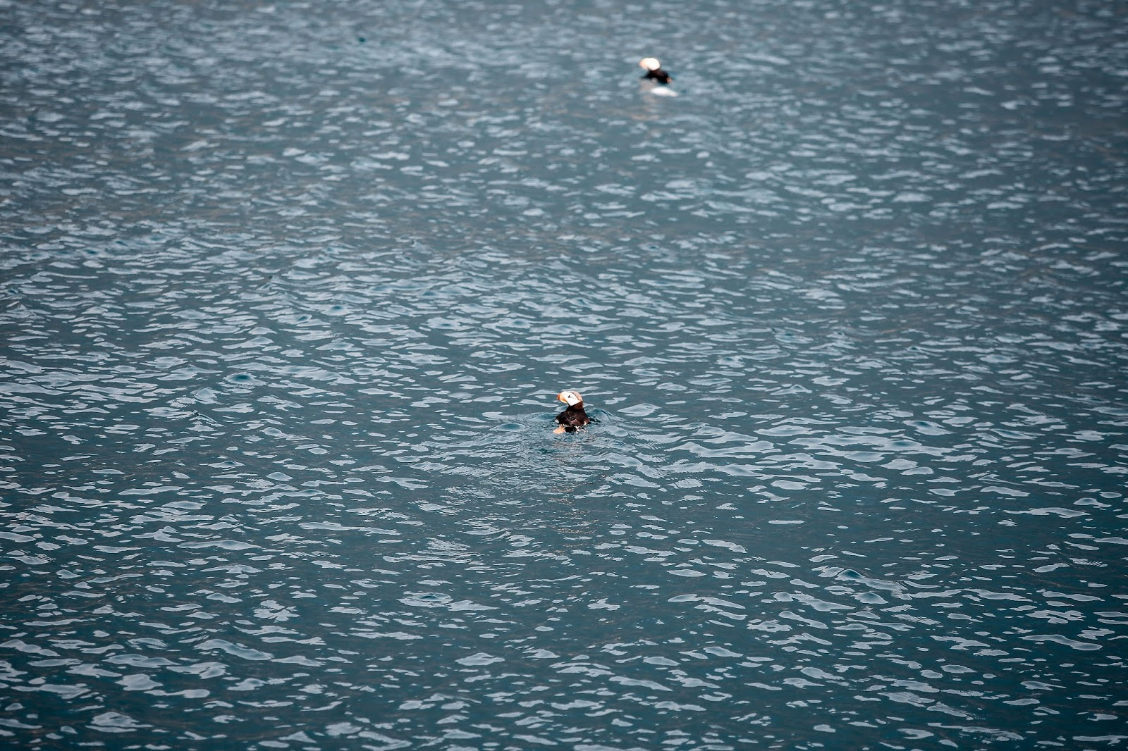 Wildlife, Major Marine Tour, Kenai Fjords