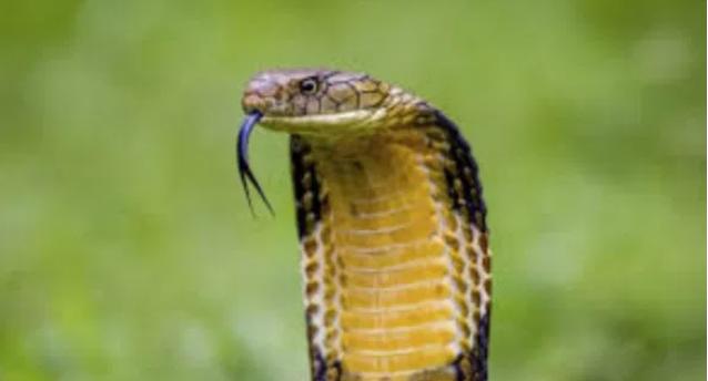 Ular king kobra memiliki lidah bercabang pendeteksi mangsa