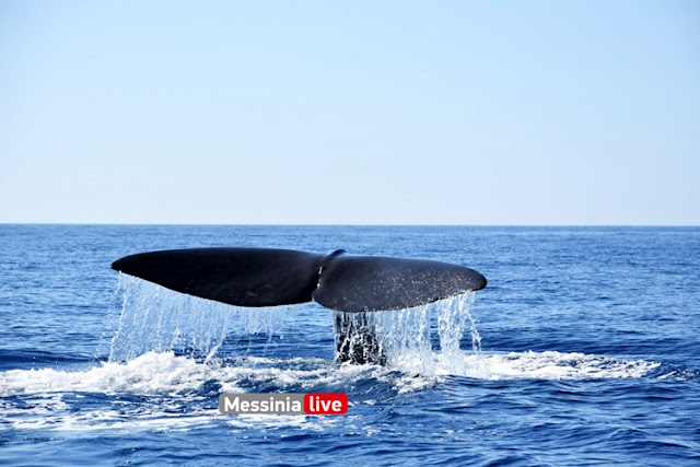 Φάλαινα εμφανίστηκε στην Ανατολική Μάνη