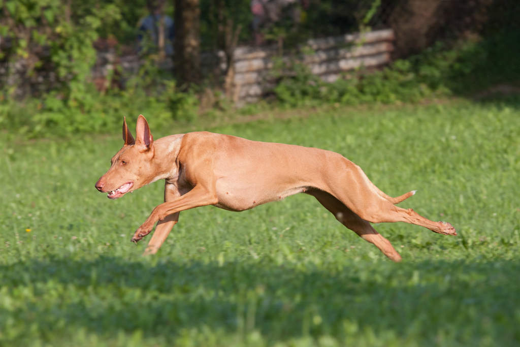 Female Pharaoh Hound runs at full speed on the lawn to the left