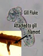 Fish Gill Fluke attached to gill filament