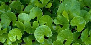Manfaat daun pegagan untuk jerawat