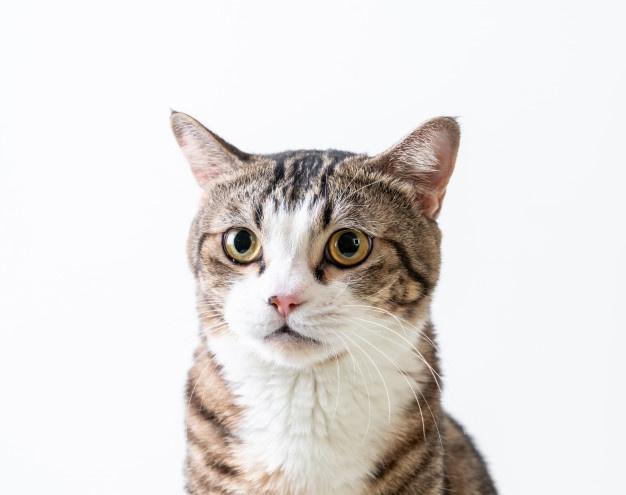 Domestic Cat Breed