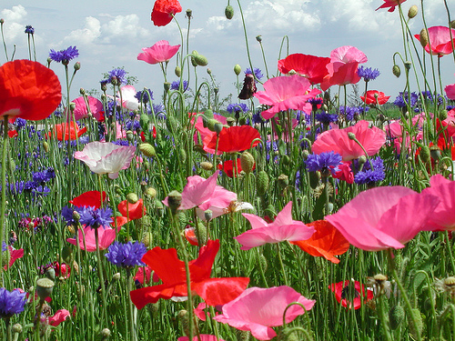 wild poppy flowers on - photo #47
