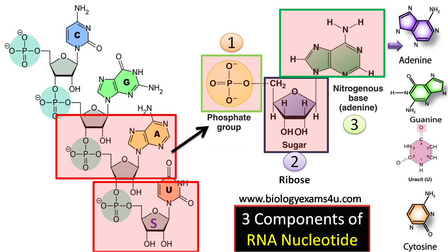 3 components of RNA nucleotide