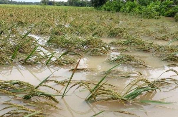 Terjadi di Purworejo, 1.872  Hektar Tanaman Padi Terendam Banjir