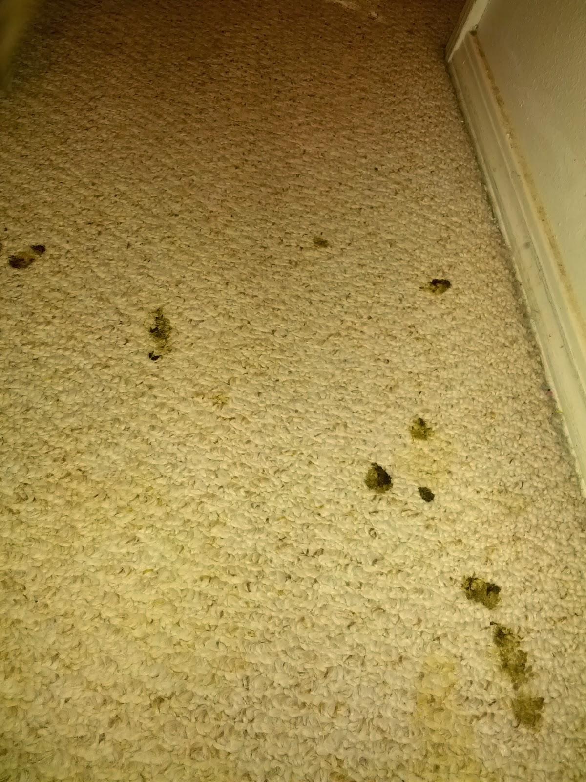 Dog Diarrhea On Carpet Carpet Vidalondon