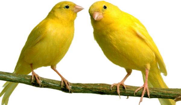 gambar ciri burung kenari