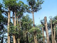 Daftar Harga Pohon Pule untuk Taman di Surabaya
