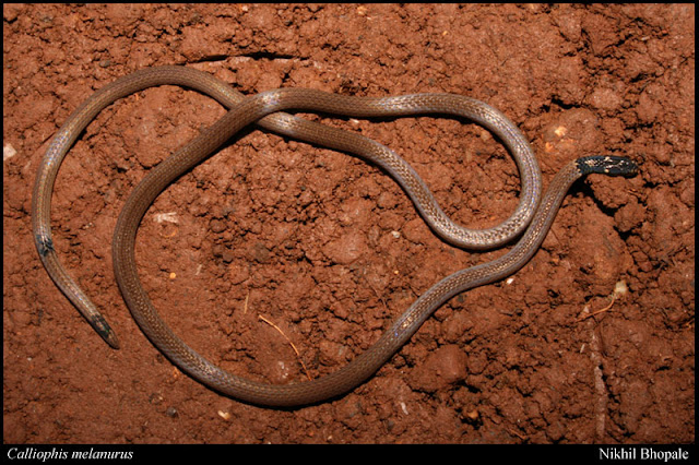 Reptile Research and Conservation Trust Of India: 30 Species Of