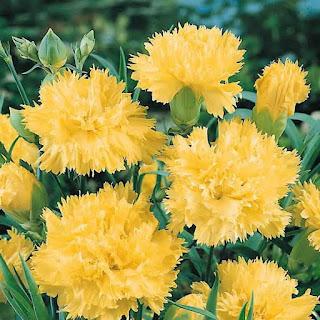 Гвоздики - Светланины цветы