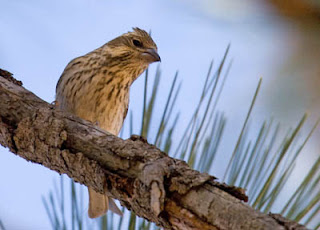 Photo of female Cassin's Finch on pine branch