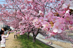 葵桜 早咲き河津桜 濃いピンク色