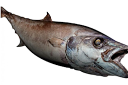 Tips Cara Memancing Ikan Escolar si Ikan Setan (oilfish)