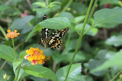 Farfalle libere