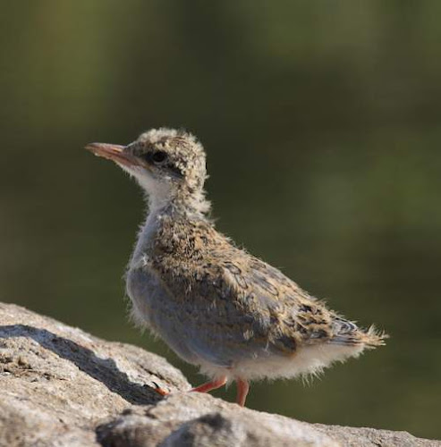 Sterna aurantia chick