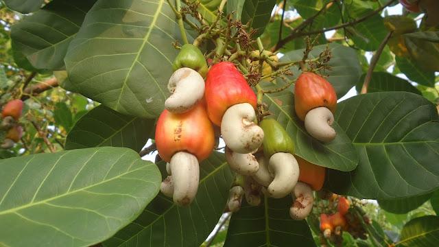 اكاجو ثمار