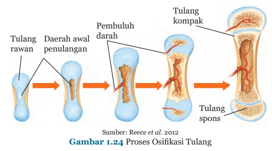 Gambar 1.24 Proses Osifikasi Tulang