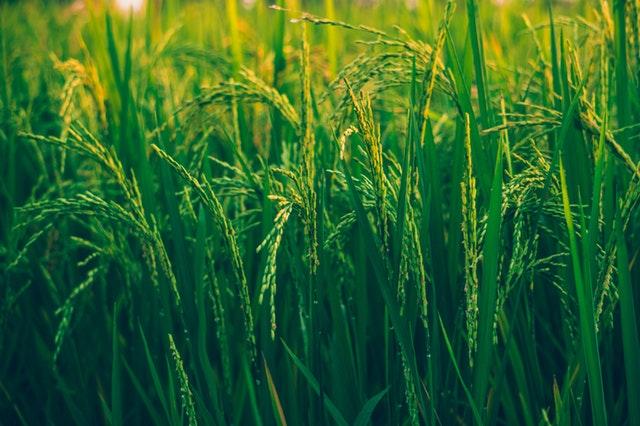 belajar dari padi