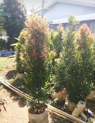 Jual Pohon Pucuk Merah di Bogor - Tukang Rumput Bogor