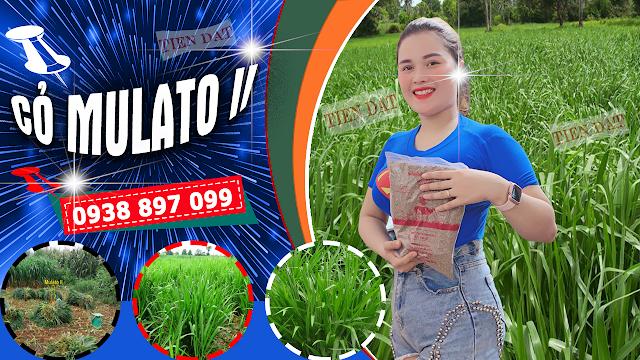 Bảng giá bán hạt giống cỏ Mulato II