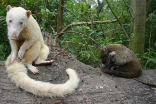 Coati | A-Z List of 125 Rare Albino Animals [Pics]