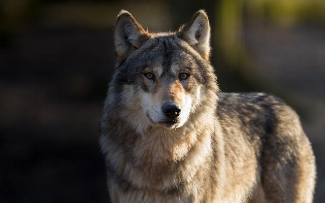 الذئب والنار