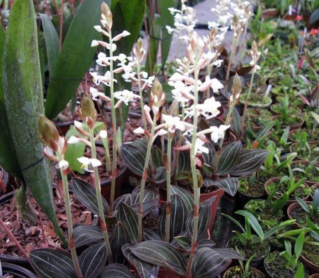 Gambar Bunga Anggrek Ludisia