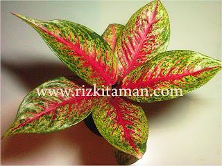 Jual aglaonema hot lady | suplier tanaman | bromelia | sansiviera | adenium