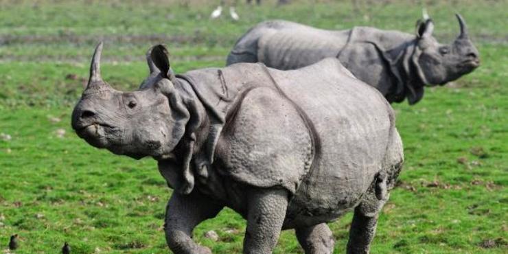 Sudah Pada Kenal Sama Rhino? Hewan Langka dari Indonesia