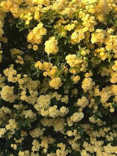 hoa hồng leo mân côi
