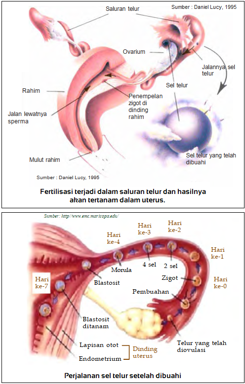 gambar fertilisasi dan perjalanan sel telur setelah dibuahi - fertilisasi