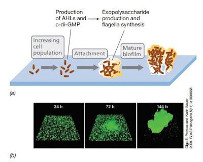 pembentukan biofilm