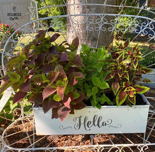 Photo of coleus in a rectangular metal planter