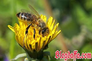 Lebah madu apis mellifera