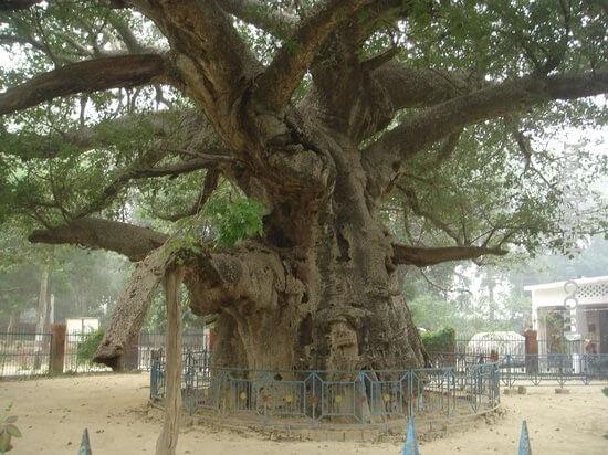 wishful tree fulfill ambition parijata tree