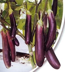 buah terung