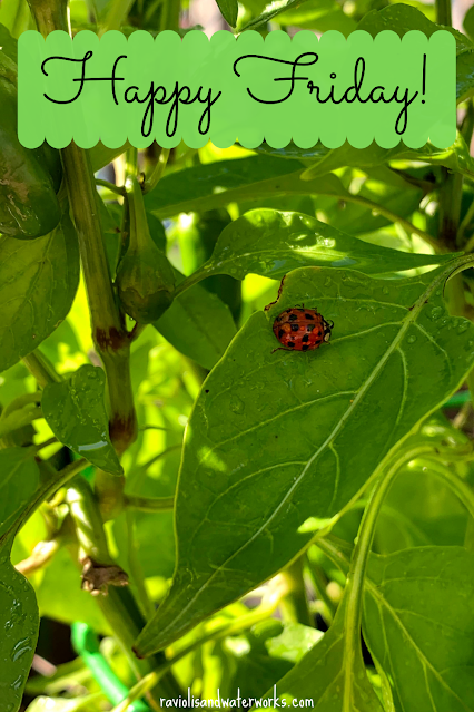 lady bug with lots of dots; snacking pepper plant; snacking pepper plant with bugs